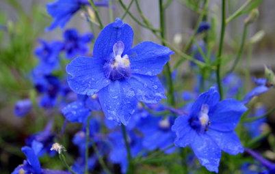 La plante du mois : Le delphinium