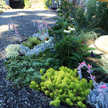 A Traditional Landscape Loses the Lawn & Overgrown Shrubs To Low Water Plants