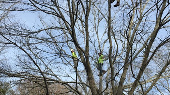 AAA Tree Experts at work