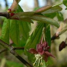 Landscape Acer circinatum