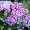 Great Design Plant: Achillea Millefolium for Dry California Gardens