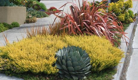 Great Design Plant: Golden Breath of Heaven