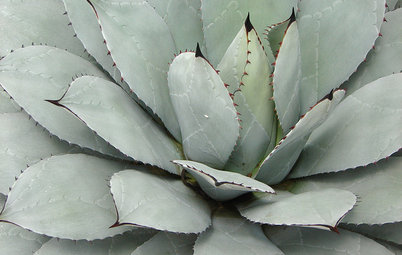Great Design Plant: Parry's Agave