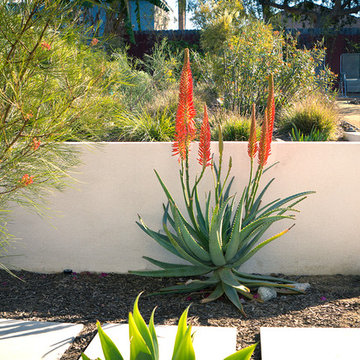 Aloe and Grevillea in Front of White Stucco Retaining Wall-  Back Yard