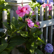 Give Your Summer Garden Tropical Flair With Mandevilla