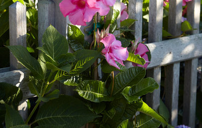 Give Your Summer Garden Tropical Flair With Mandevilla