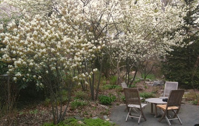 Great Design Plant: Amelanchier Signals Spring With Airy White Blooms