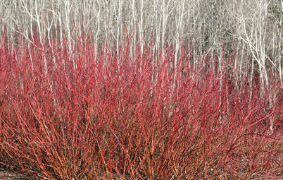 Great Design Plant: Redtwig Dogwood