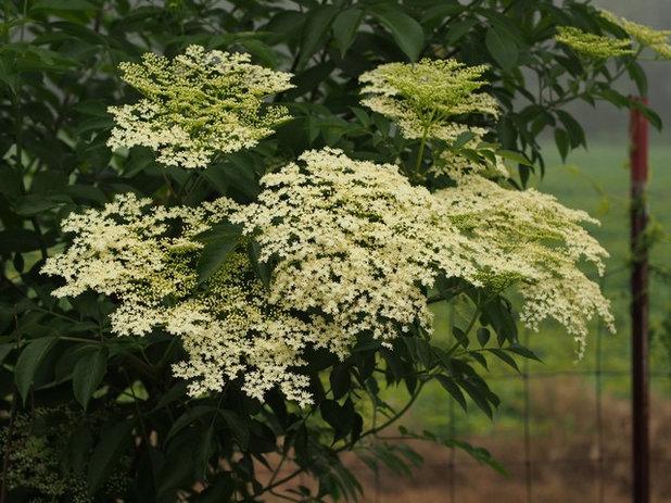 庭 American Elderberry in Bloom