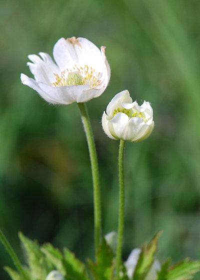 Landscape Anemone virginiana (Thimbleweed)