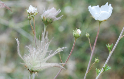 Great Design Plant:  Apache Plume