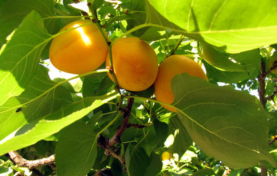 How to Grow Your Own Apricots