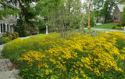 Packera Aurea Puts On a Springtime Show in Sun or Shade