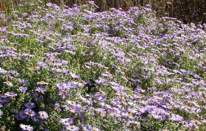 Great Design Plant: Aromatic Aster Keeps on Blooming