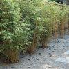 Great Design Plant: Alphonse Karr Bamboo