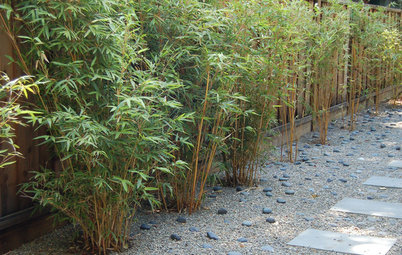 Great Design Plant: Alphonse Karr Bamboo