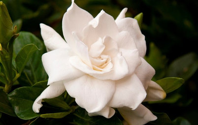 Gardenias Fill Gardens With Fragrance and Charm