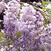 Spring Planting: Wonderful Wisteria