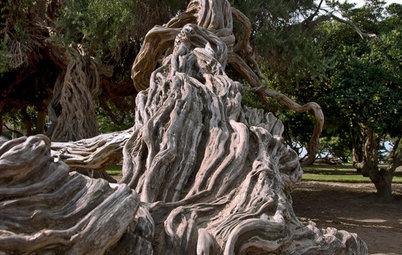 Great Design Tree: Australian Tea Tree