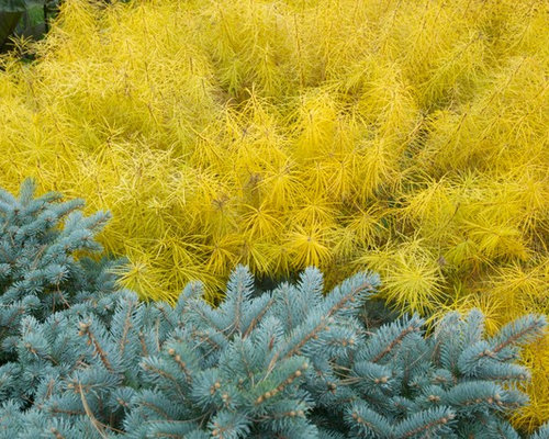 Dwarf Blue Spruce Ideas Pictures Remodel And Decor