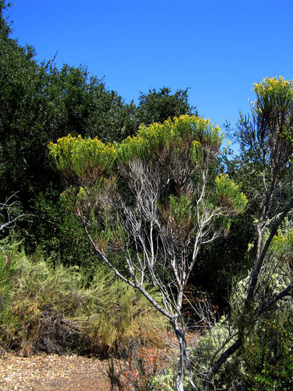 Contemporary Landscape Baccharis pilularis in Los Osos Oaks State Preserve
