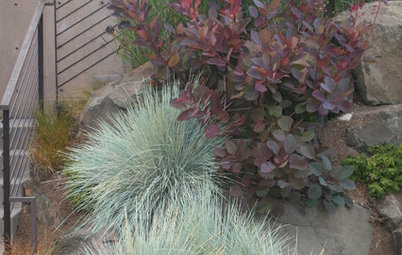 Great Design Plant: Smoke Tree
