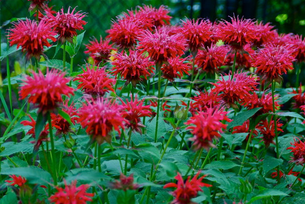 Landscape Bee Balm in the Garden