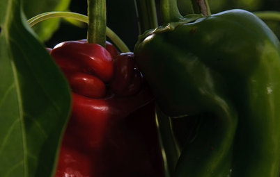 Summer Crops: How to Grow Peppers
