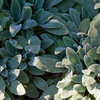 The Right Touch: 13 Soft, Fuzzy Plants for Gardens and Pots