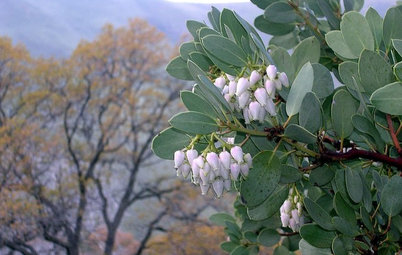 Great Design Plant: Arctostaphylos Glauca Nourishes and Delights