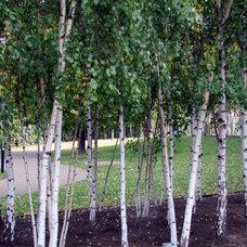 Modern Landscape Birch trees
