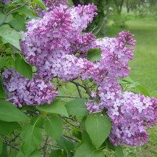 Spectacular Blooms Distinguish the Common Lilac Bush