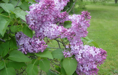 Spectacular Blooms Distinguish the Common Lilac Bush