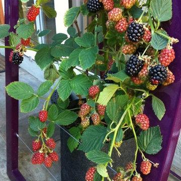 Blackberry vine woven into Mira Garden Trellis