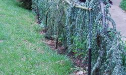 Blue Atlas Cedar Fence