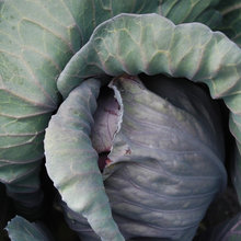 Cool-Season Vegetables: How to Grow Cabbage