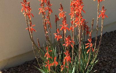 Great Design Plant: Aloe 'Blue Elf'