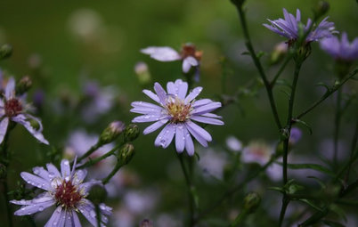 6 Overlooked Asters for Tough Spots