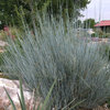 Great Design Plant:  Bluestem Joint Fir