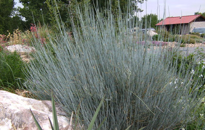 Great Design Plant:  Bluestem Joint Fir