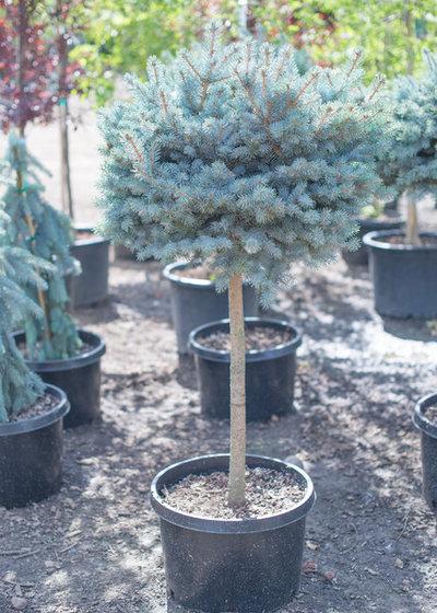 American Craftsman Garten by CreekSide Tree Nursery