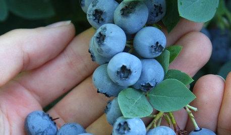 Summer Crop: How to Grow Blueberries