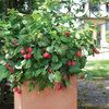 Patio-Perfect Berry Bushes Like You've Never Seen