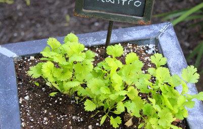 Herb Garden Essentials: Versatile Cilantro Adds Flavor to Herb Gardens