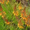 Great Design Plant: Bulbine Frutescens