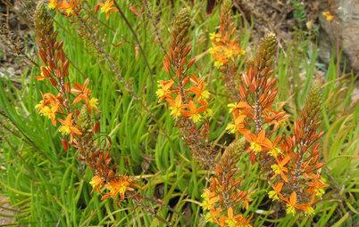 Great Design Plant: Bulbine Frutescens 'Hallmark'