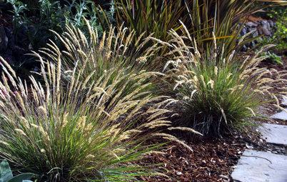 Leafy Reedgrass Softens California Gardens