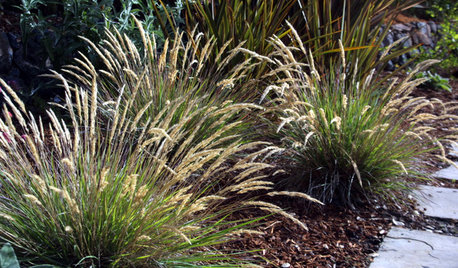 Leafy Reedgrass Softens California Gardens