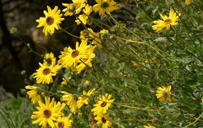 Great Design Plant: Encelia Californica