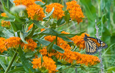 Great Design Plant: Butterfly Milkweed, a Beacon in the Prairie